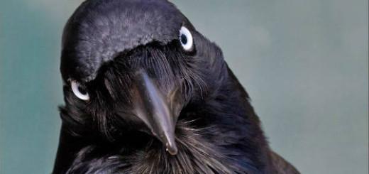 черный ворон клюет во сне