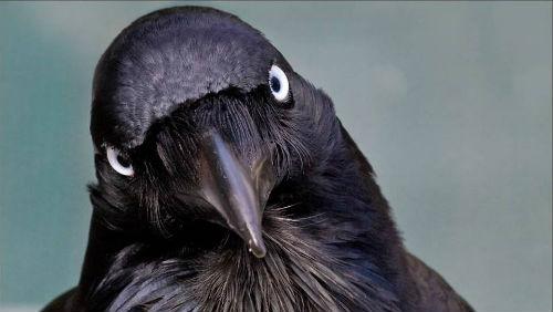 картинки черный ворон