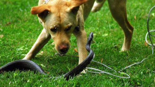 гадюка нападает на собаку
