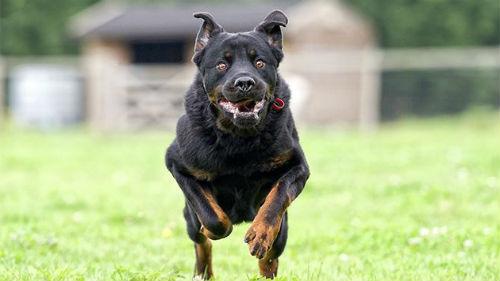 большая черная собака бегущая за мной