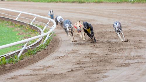 собачьи соревнования