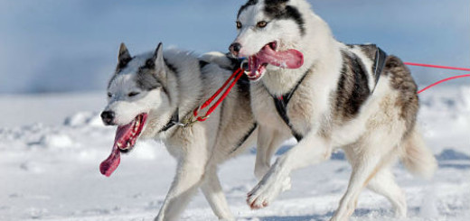 бегущие собаки в упряжке сне