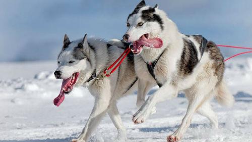 бегущие собаки в упряжке во сне