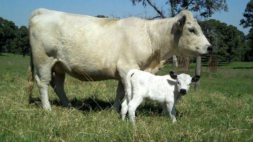 Сонник коза к чему снится коза во сне