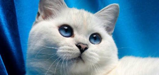 белый кот пушистый во сне
