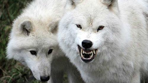 к чему снятся белые волки женщине