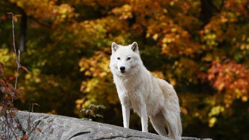 видеть белую волчицу