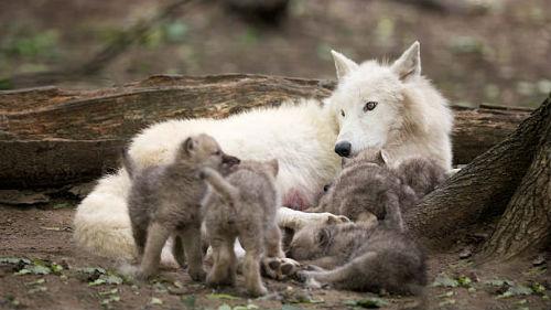 маленькие волчата