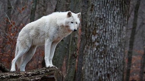белый волк во сне