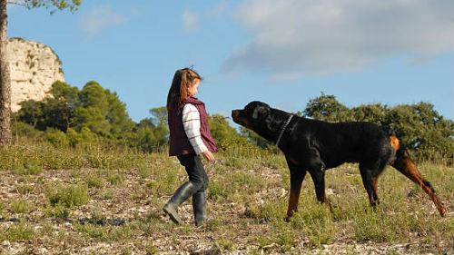 большой черный пес нападает