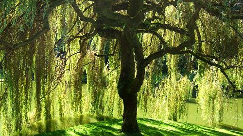 вербное дерево