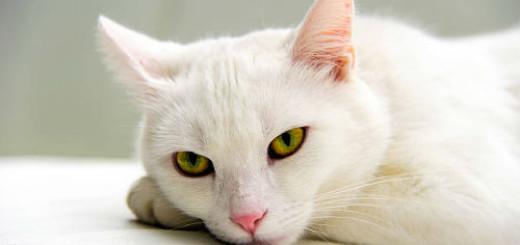 белая кошка во сне