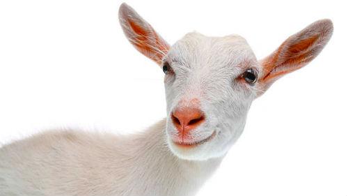 Картинки по запросу коза