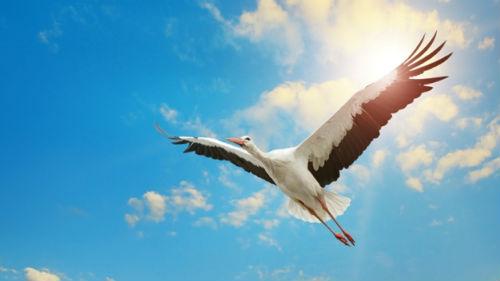 большая черно-белая птица