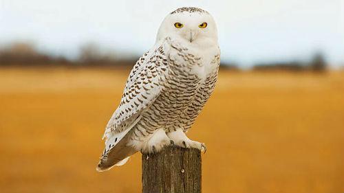 к чему сниться белая сова