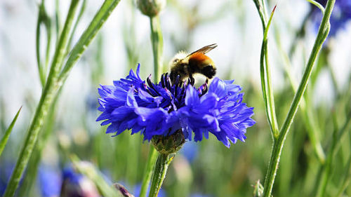 пчела и синий цветок