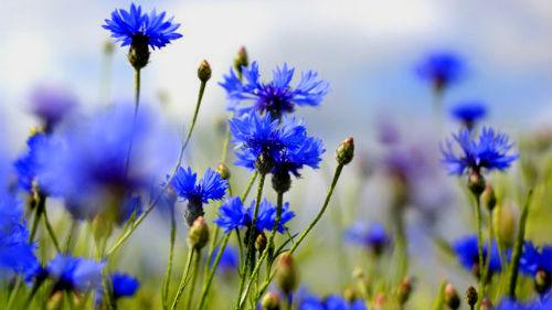 видеть поле цветов