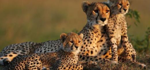 гепард во сне