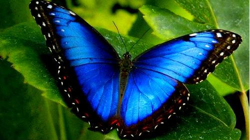 видеть голубого мотылька