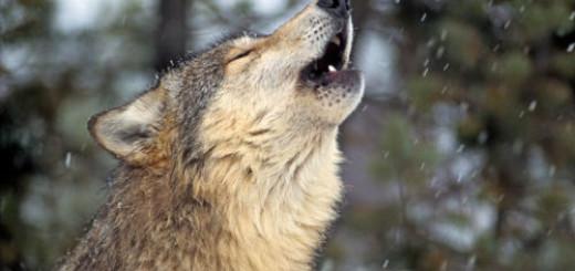 вой волков во сне
