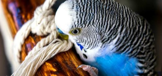волнистый попугай во сне