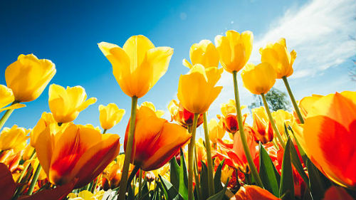 видеть желтые тюльпаны