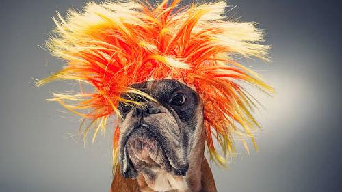 видеть собаку в желтом парике