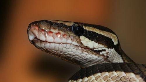 к чему снится голова змеи