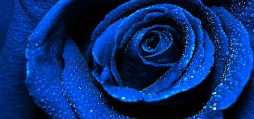 голубая роза во сне