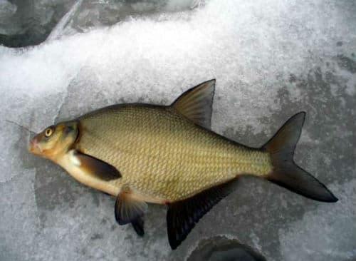 к чему снится свежая  рыба