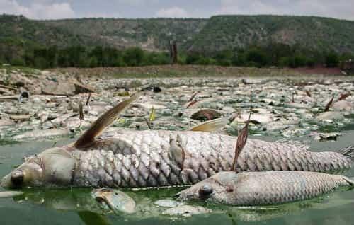 сонник дохлая рыба