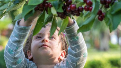 к чему снится есть вишни