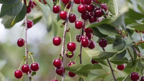 ягоды с дерева