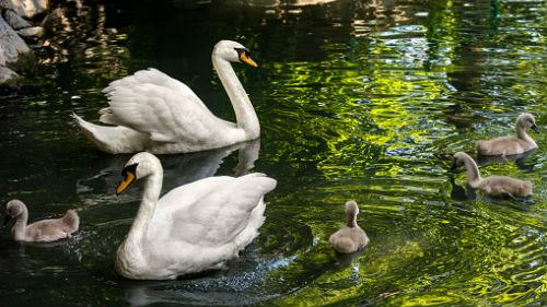 к чему снятся лебеди на воде