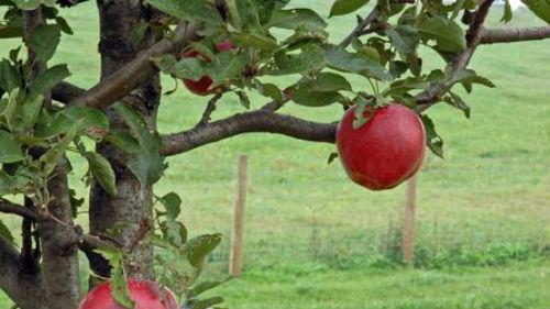 лезть на фруктовое дерево