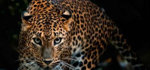 леопард во сне