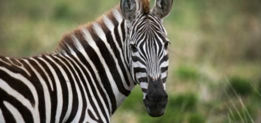 зебра во сне