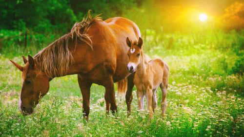лошадь с жеребенком во сне