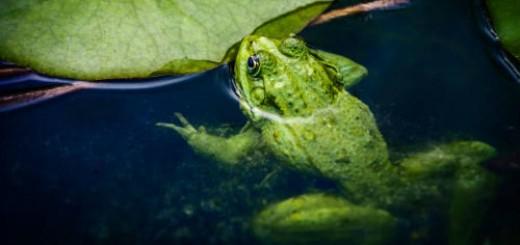 лягушки в воде во сне