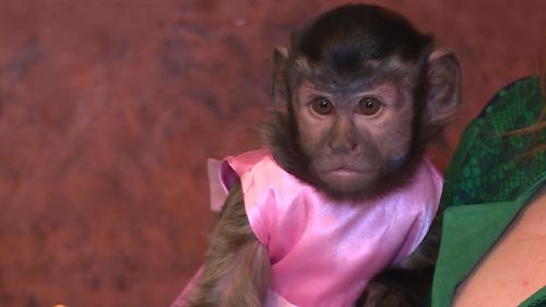к чему снится маленькая обезьянка